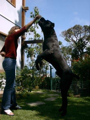 cane-corso-trening